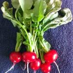 Radishes harvest