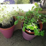 Parsley and basilic balcony pots