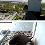 Peregrine Falcon Lunch with the two proud parents